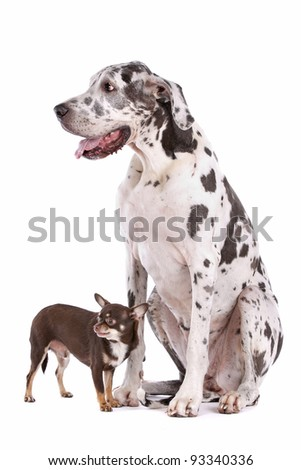 great dane harlequin and a Chihuahua in front of a white background - stock photo