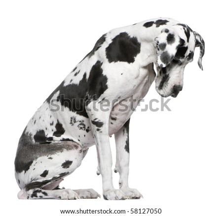 Great Dane Harlequin sitting in front of white background looking down - stock photo