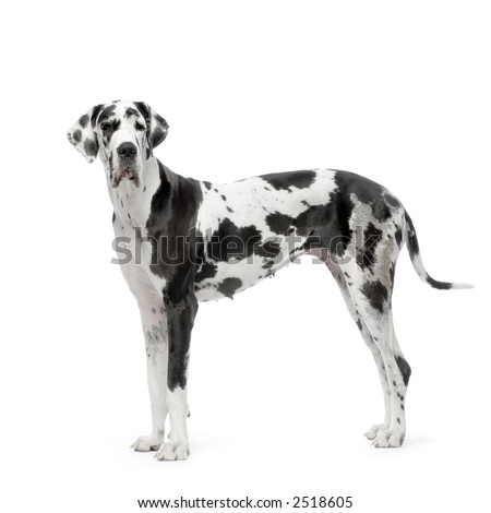 Great Dane HARLEQUIN standing in front of white background - stock photo