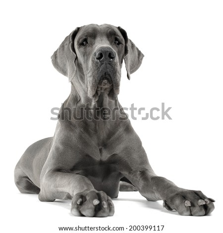 Great Dane lying in the white studio floor - stock photo