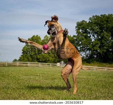 Great Dane on hind legs trying to catch ball - stock photo