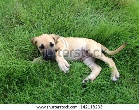great dane puppy. - stock photo