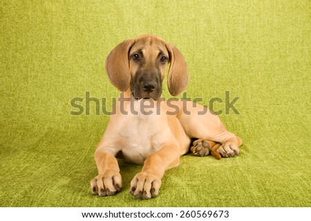Great Dane puppy lying down on green background  - stock photo