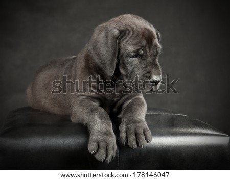 Great Dane puppy on a black background - stock photo