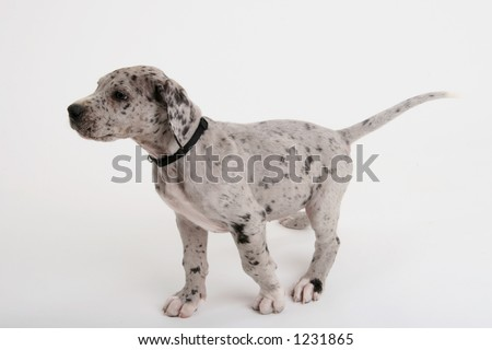 Great Dane puppy on point - stock photo