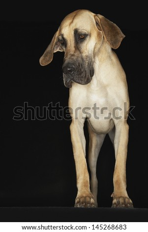 Great Dane standing against black background - stock photo