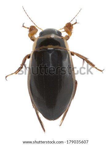 Great diving beetle, Dytiscus marginalis isolated on white background - stock photo