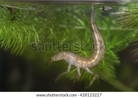 Great Diving Beetle nymph - Dytiscus marginalis nymph hunting under the water - stock photo