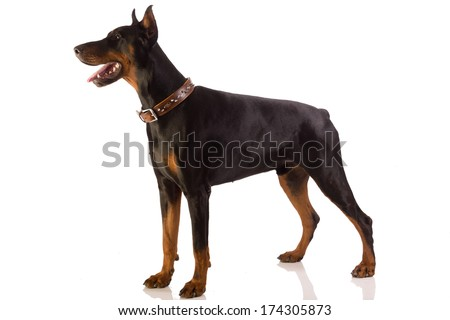 Great doberman dog on white background - stock photo