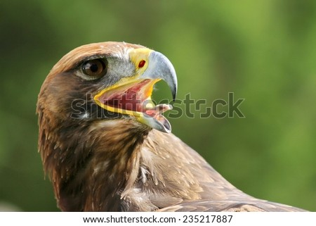 Great Eagle with open beak and tongue out - stock photo