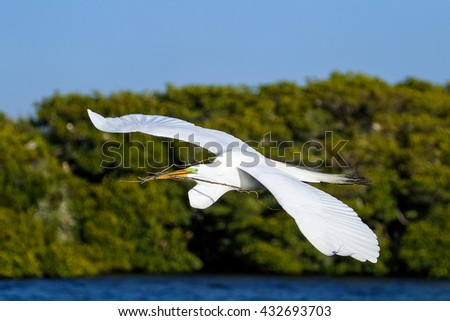 Great Egret (Ardea alba) flying with a stick in its beak - stock photo