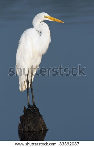 Great Egret (Ardea alba) perching on a stump with background of blue water. - stock photo