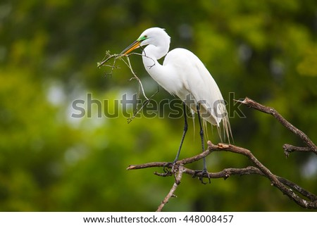 Great Egret (Ardea alba) sitting on a tree with sticks in its beak - stock photo