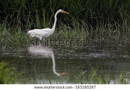 Great Egret (Ardea alba) Wading in Water - stock photo