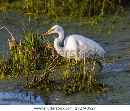 Great Egret at Shiwassee Wildlife Refuge, Saginaw, Michigan - stock photo