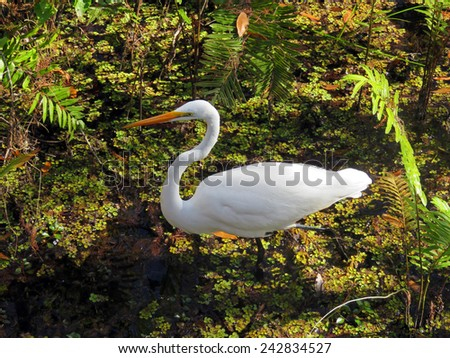 Great Egret at Six Mile Cypress Slough Preserve Florida - stock photo
