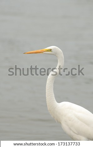 Great Egret, Casmerodius albus, looking for fish in the Gulf of Mexico in Louisiana - stock photo