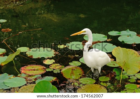 Great Egret, Casmerodius albus, looking for fish in the marsh or swamp area in north Florida - stock photo
