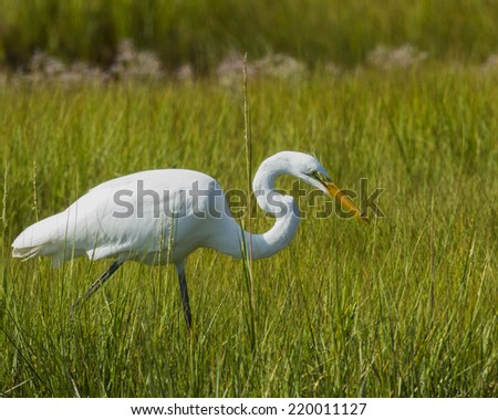 Great Egret fishing in Cape Cod MA.  In a marsh near the Oyster river. - stock photo