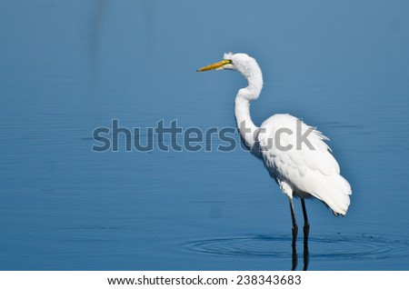 Great Egret Hunting for Fish - stock photo