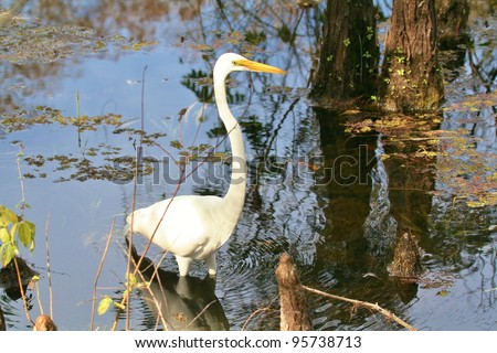 Great Egret hunts in the swamp. - stock photo