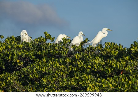 Great Egret in a Rookery, Everglades National Park Florida - stock photo