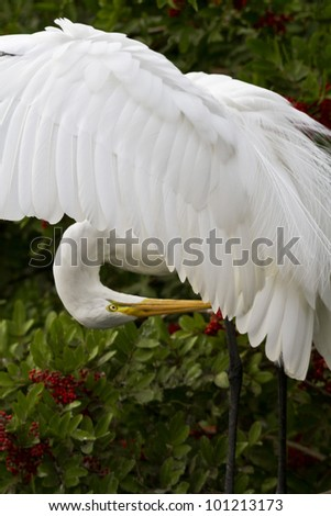 Great egret in breeding plumage, wings open.  Location is Florida, USA.  Pose is elegant and courtly. - stock photo