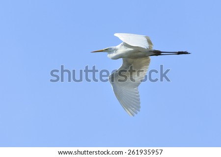 Great Egret in flight. - stock photo