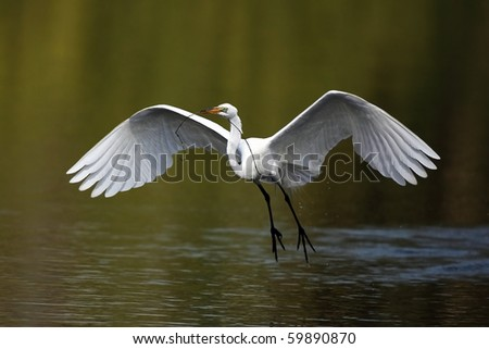 Great Egret in flight carrying a branch. - stock photo