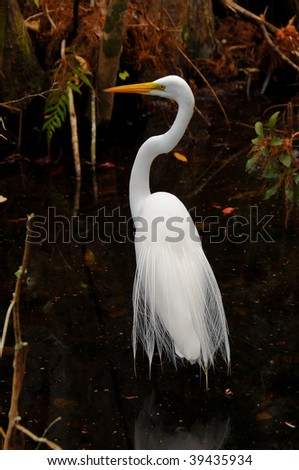 Great Egret in full plumage - stock photo