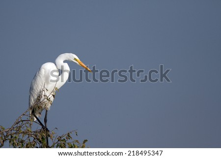 Great Egret in Quivira National Wildlife Refuge in Kansas - stock photo