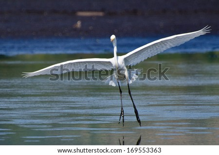 Great Egret Landing in Shallow Water - stock photo