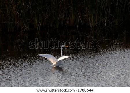 Great Egret, Montezuma National Wildlife Refuge, New York - stock photo