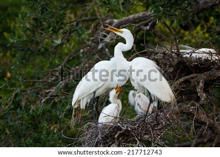 Great Egret nest with young chicks - stock photo