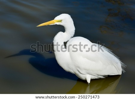 Great Egret, Or Great White Heron (Ardea alba) In Natural Habitat With Reflection In Water. - stock photo