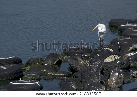 Great Egret perched on abandoned automobile tires in San Francisco Bay - stock photo
