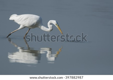 Great egret reflection in the water - grote zilverreiger - ardea alba - stock photo