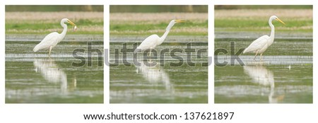 Great Egret / White Heron photo series, walking in a lake - stock photo