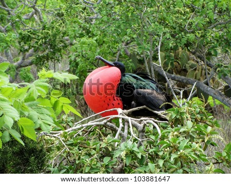 Great Frigate Bird Exposing its pouch, Island of North Seymour, Galapagos - stock photo