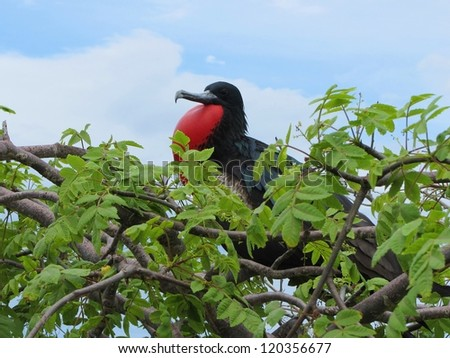 Great Frigate sitting in a tree, Island of North Seymour, Galapagos - stock photo