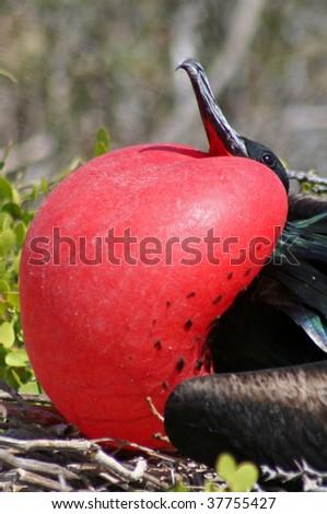 Great frigatebird male, North Seymour Island breeding colony, Galapagos - stock photo