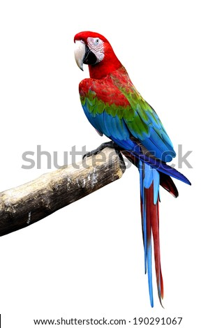 Great Green-winged macaw bird perching on the log isolated on white background - stock photo