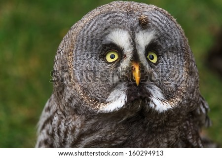Great Grey Owl close up - stock photo
