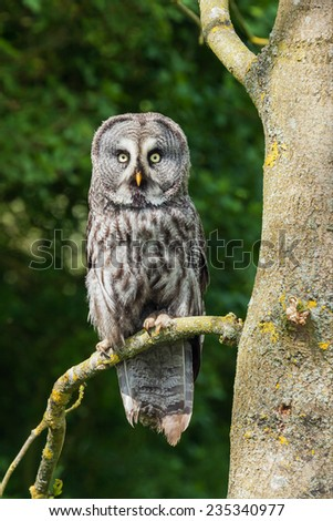 Great grey owl in a tree. An amazing great grey owl is seen perched on the branch of a tree. - stock photo