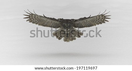 Great Grey Owl in flight - stock photo