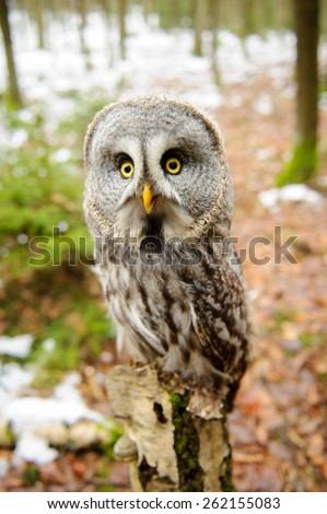 Great grey owl in the winter forest - stock photo
