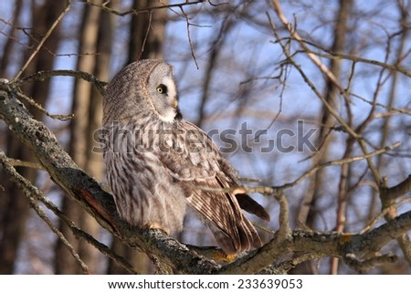 Great Grey Owl or Lapland Owl - stock photo