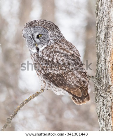 Great Grey Owl sitting on a tree branch - stock photo