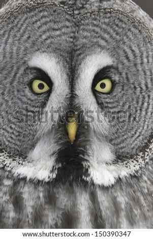 Great-grey owl, Strix nebulosa, close up of head        - stock photo
