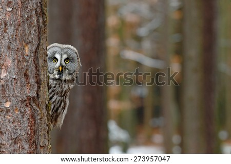 Great grey owl, Strix nebulosa, hidden of tree trunk in the winter forest, portrait with yellow eyes - stock photo